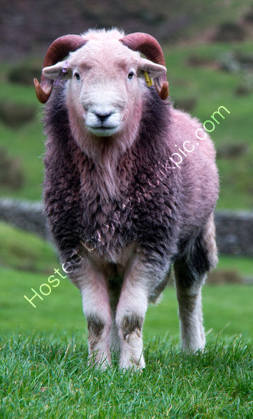 Highly commended Scott Middleton - Herdwick ram