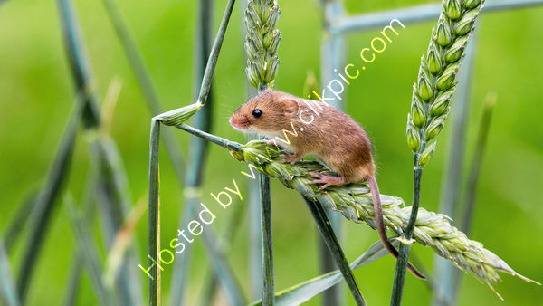 Lady Hill Plaque 2nd - Harvest Mouse - Tony Collinson