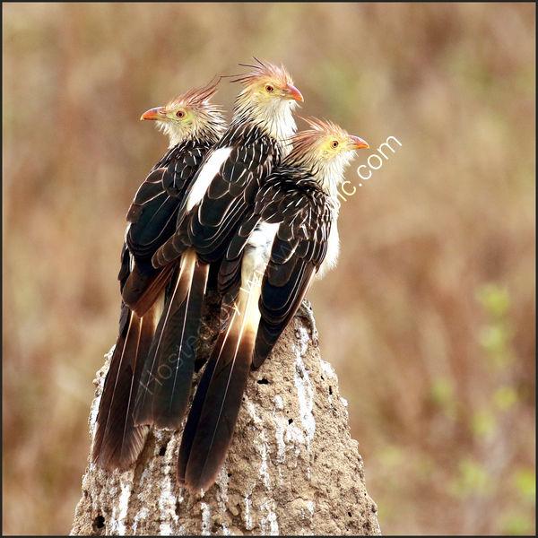 1st - Dave Varney 'The 3 Amigos'. Guira Cuckoos, Brazil