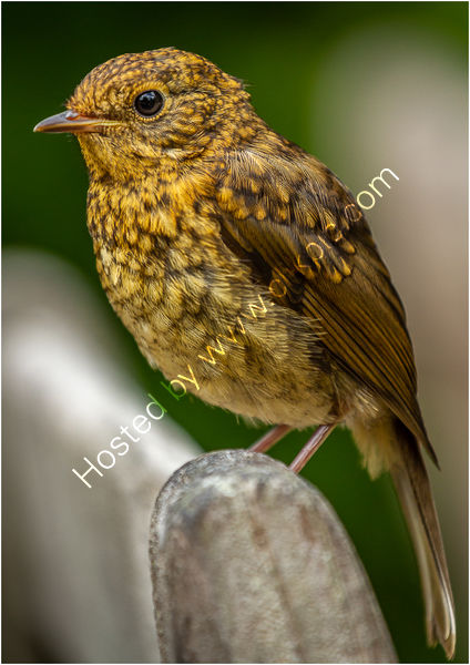 3rd - Bill Butcher - Juvenile Robin