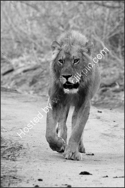 Commended Dave Varney -  Homeward Bound'.  Young male Lion, Ruaha NP, Tanzania