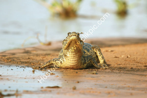 Commended Dave Varney -  'That Bee thinks I cant see him!' Caiman, Northern Pantanal, Brazil