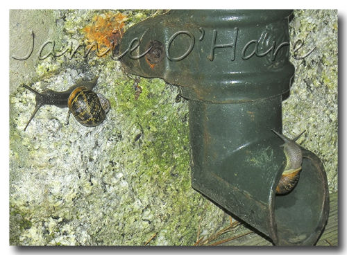Snails on Drainpipe
