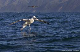 Albatross Encounters
