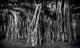 """The Banyan Tree"""