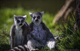 """""""Ring-Tailed Lemurs"""""""
