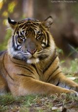 Tiger Tiger burning bright ...