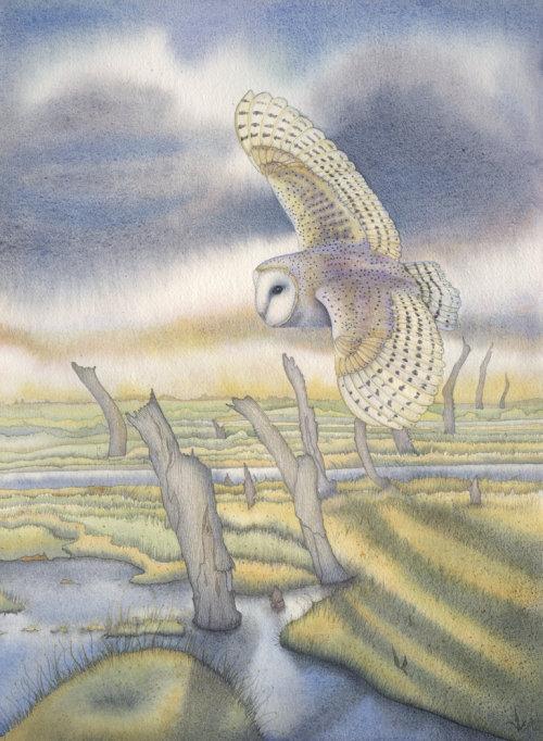 Barn Owl at Thornham  (print)
