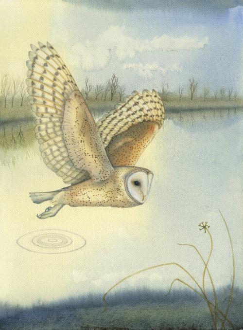 Barn Owl over the Broads (print)