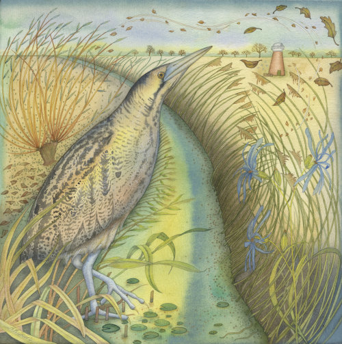 Bittern in the Reeds  (print)