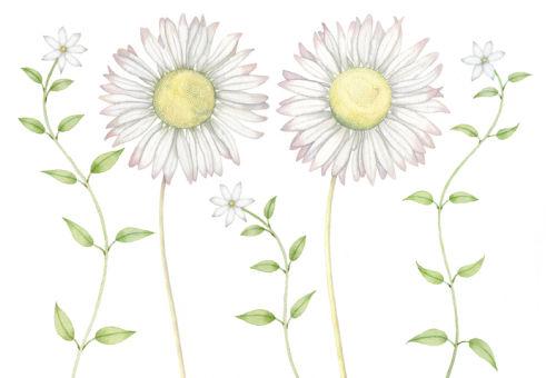Jasmine and Daisies (NNUH)