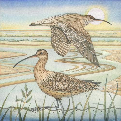 Curlews. (print)