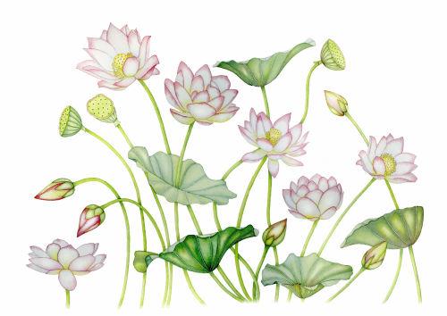 Lotus Flowers (NNUH)