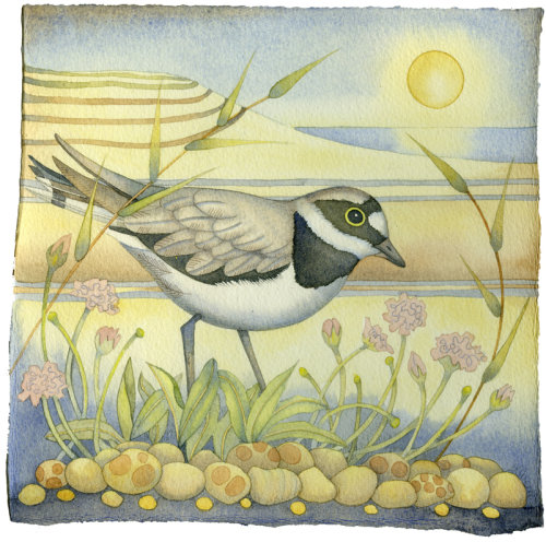 Little Ringed Plover (painting and print)
