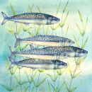 Mackerel (NNUH)
