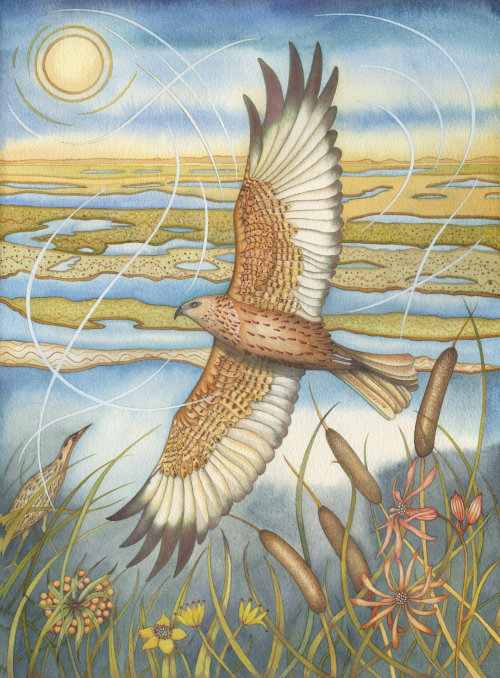 Marsh Harrier (print)
