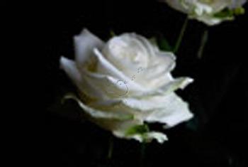 My Vintage Rose