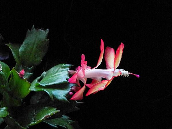 Schlumbergera bridgesii, Cactus