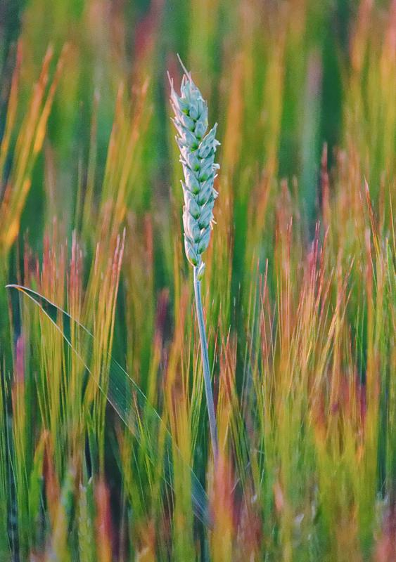 Barley Head