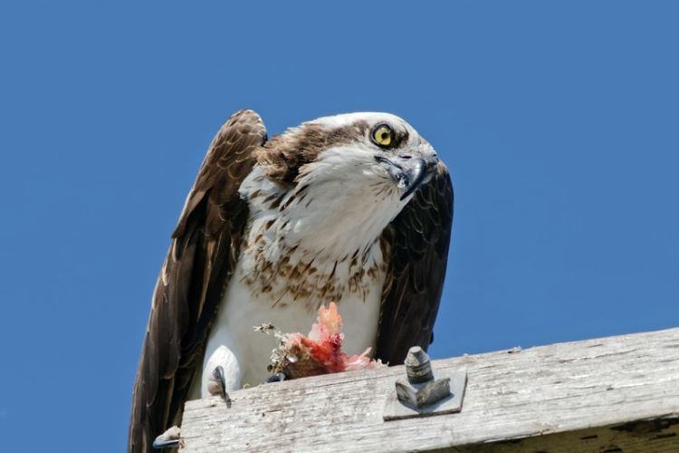 Lunch for an Osprey
