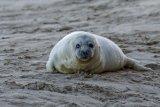 Seal pup, Norfolk