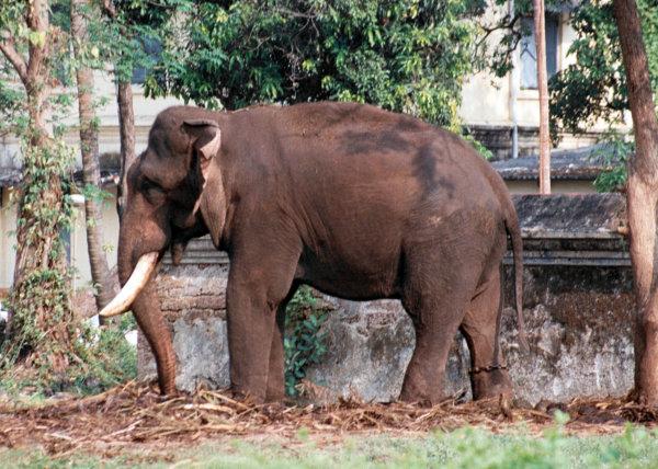 Tethered Elephant, Kochi