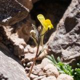 Linaria multicaulis ssp galioides