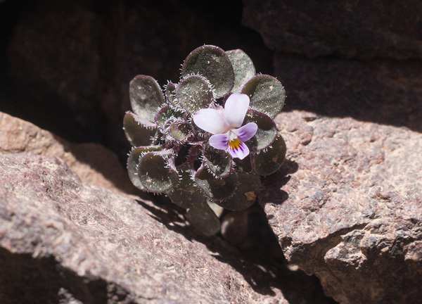 Viola dyris