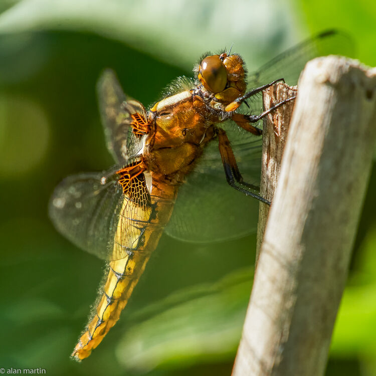 Broad-bodied chaser 1.