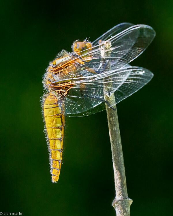 Broad-bodied chaser 2.