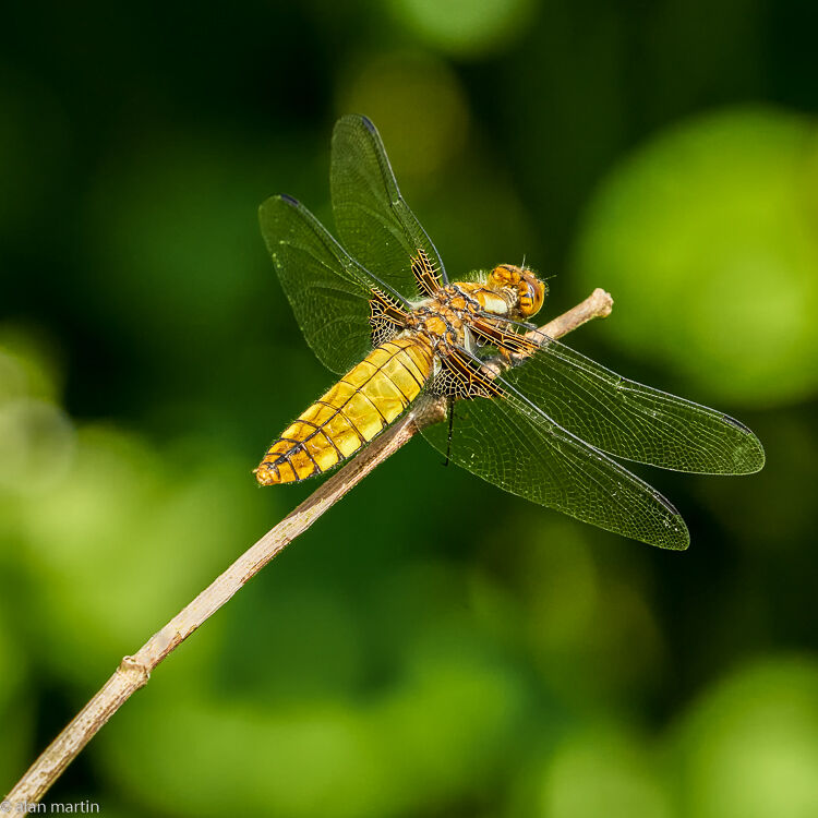 Broad-bodied chaser 3.