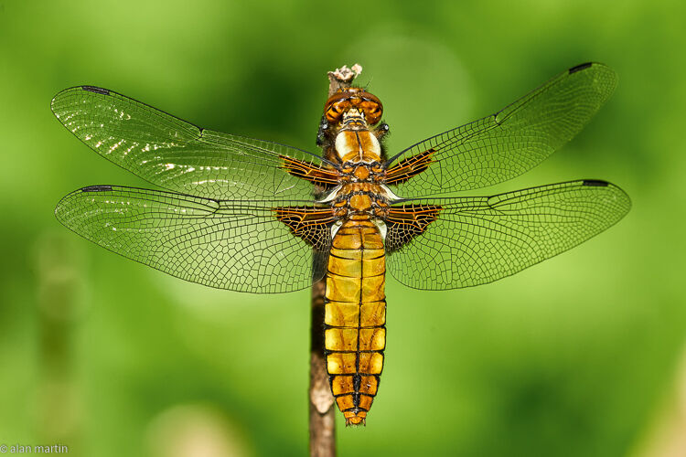 Broad-bodied chaser 7.
