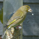Greenfinch Dropping Food
