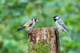 Goldfinch & Great tit