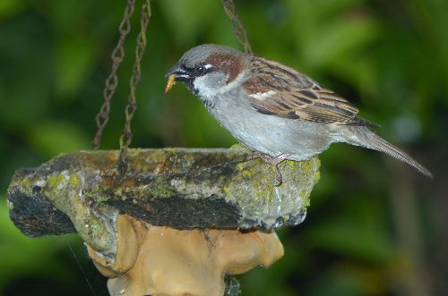 Sparrow with Worm