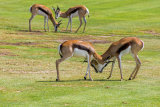 Springbok on Mossel Bay GC