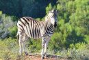 Zebra-clicpic