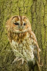 1AM5222-Tawney Owl