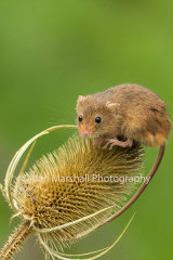 1AM5260-Field Mouse