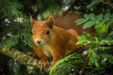1AM5536-Red Squirrel