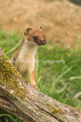1AM5642-Stoat on Lookout