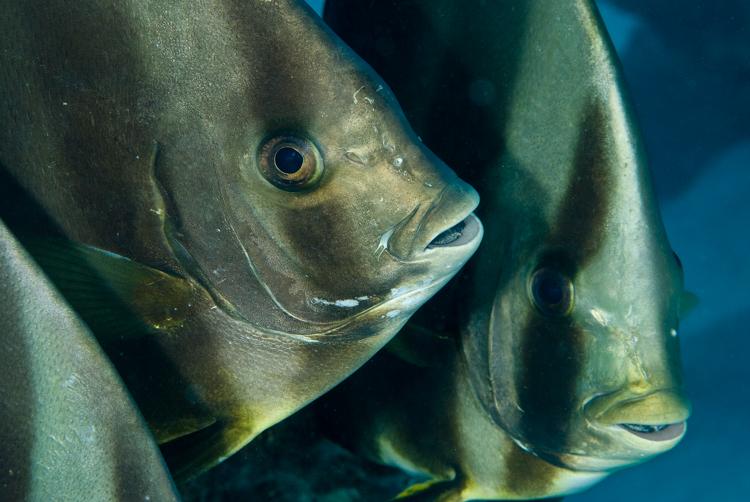 Batfish, Red Sea