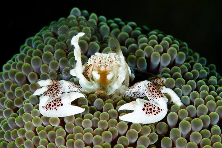Porcelain crab, Philippines
