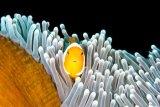 Anemonefish, Bali