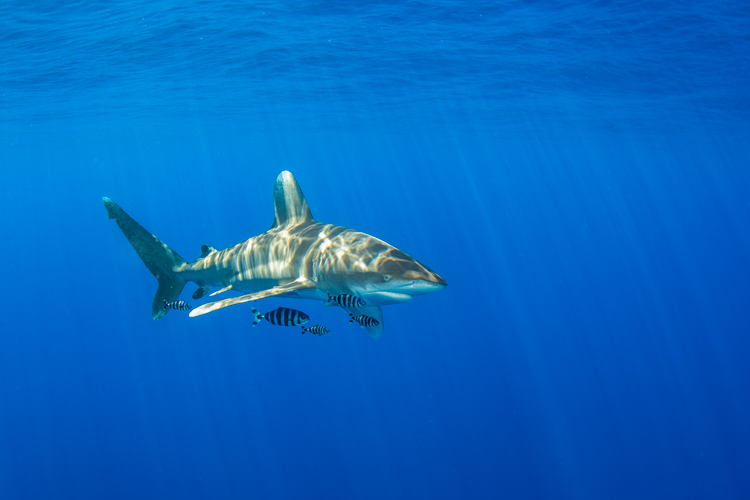 Oceanic whitetip shark, Red Sea