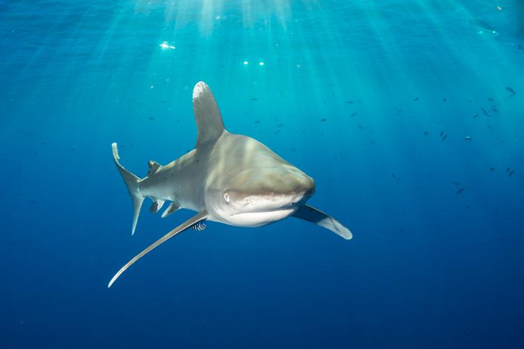 Oceanic whitetip shark, Red Sea