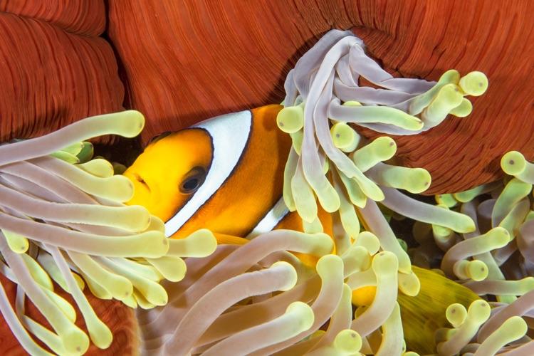 Anemonefish, Red Sea