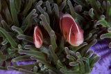 Anemonefish (with parasite tongue), Komodo