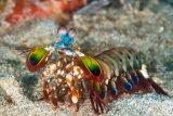 Harlequin mantis shrimp, Bunaken