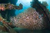 Glassfish in Japanese Wreck, Bali
